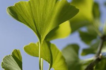 Ginkgo leaves have a fan shape.