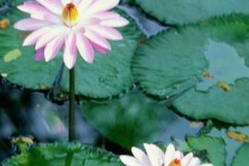 Water lily pads float on top of the water with their roots anchored to the bottom of the pond.
