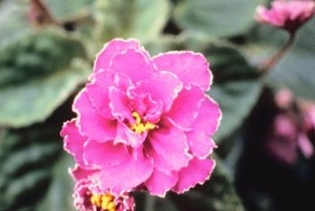 African violet hybrids bloom in single or double flowers.