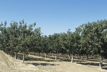 Pistachio trees are characterized by their dense foilage.