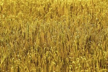 Oat grass turns yellow when the seeds are ready for harvest.