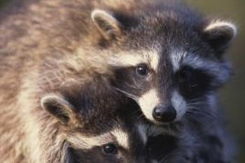 A mother raccoon teaches its babies to hunt for food.