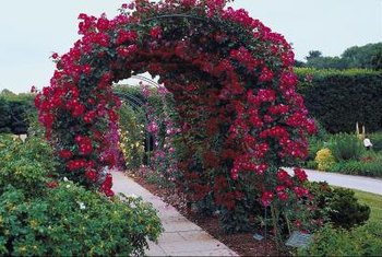 Climbing roses can be trained to spread over an arbor.