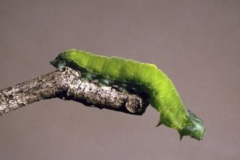 Caterpillars feed on the leaves of apple trees, not the fruit.