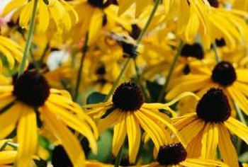 Black-eyed Susan blooms the first summer from seeds sown in early spring.
