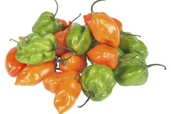 As habanero peppers ripen, the heat and flavor intensifies.