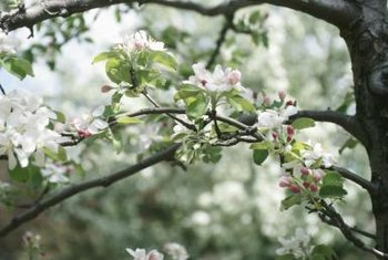 Blossoms or fruit are removed from branches before air layering.
