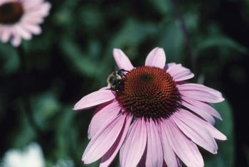 Coneflowers (Echinacea) provide both pollen and nectar to foraging bees.