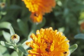 Marigolds are thought to deter garden pests, but some animals still want a bite.