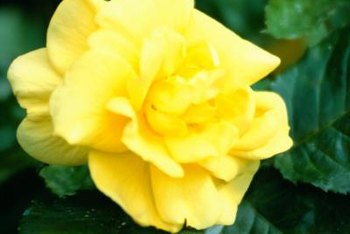 Yellow roses light up your garden.