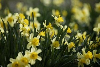 Choose companion plants that will hide daffodil leaves.