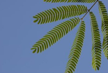 A sensitive plant's leaves add a delicate, feminine touch to the landscape.