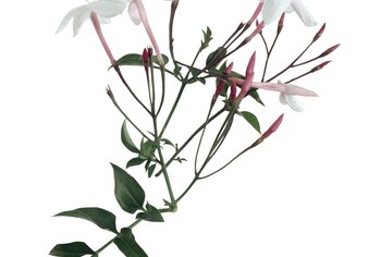 Remove flowers before you dip the jasmine cutting in rooting hormone.