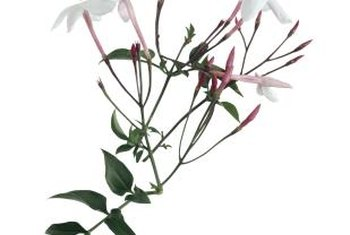 Pink jasmine produces pink buds that open to reveal white blossoms.