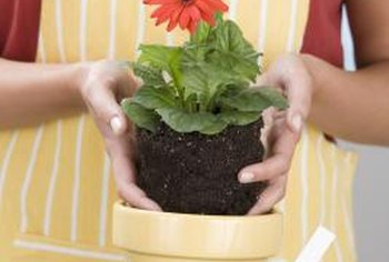 Reinvigorate a root-bound plant by repotting it in a larger container.