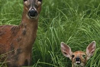 Deer do not like the taste of African dasies.