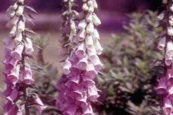 Foxgloves bloom in May and June.
