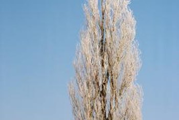 Hybrid Poplar trees are hard to kill if herbicides are not applied.