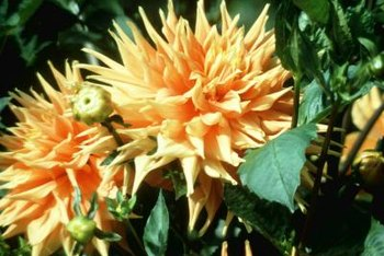 Dahlias are a genus of flowering perennial that grow well in climate zone 9.