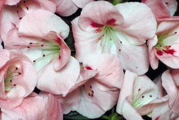 """Hilda Niblett"" azaleas form pink and white blossoms."