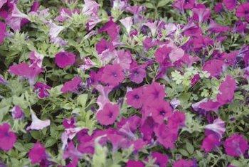Colorful petunias look dramatic in a mass planting.