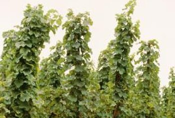 Hops need strong supports to grow upright.