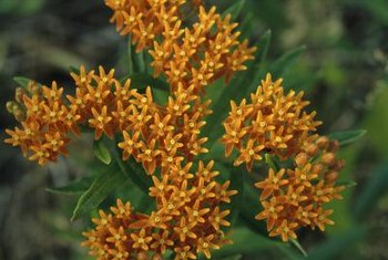 Butterfly weed is often confused with butterfly bush because they both attract pollinators.
