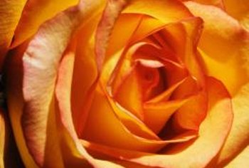 Modern roses feature a wide range of vibrant colors.