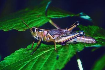 Grasshoppers do major damage to your plants.
