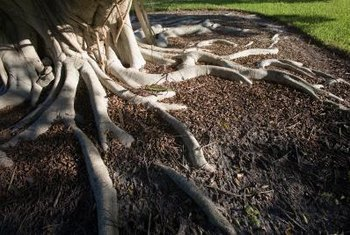 Do not remove roots that are directly under the tree's canopy.
