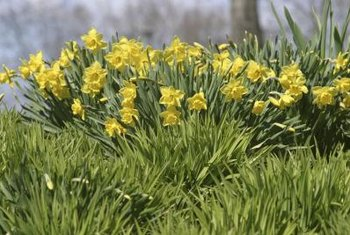 Daffodils in a lawn can't be cut down until their foliage fades.