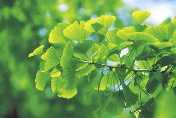 Maidenhair trees feature attractive foliage but emit an offensive odor.