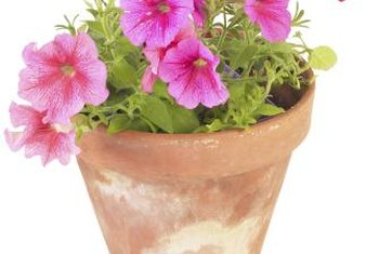 Compact petunias perform better than weak, leggy plants.