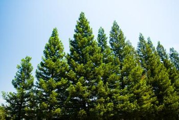 Pine trees are gymnosperms that produce cones rather than flowers.