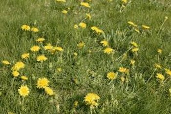 In Mediterranean climates, where winters are mild and wet, dandelions grow year round.