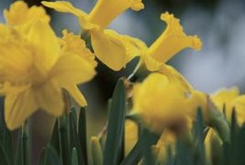 Cupped centers are a defining characteristic of narcissus flowers.