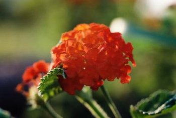 Deadheading spent lantana flower clusters encourages fall blooming.