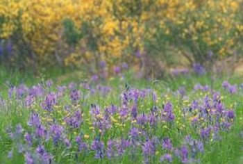 "Consider using ""Lena"" broom as part of a water-wise wildflower garden."