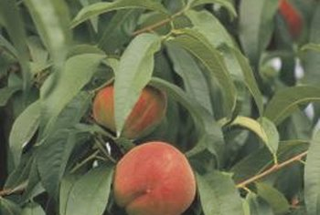 Dwarf Bonanza peach tree produces full-sized fruit in abundance.