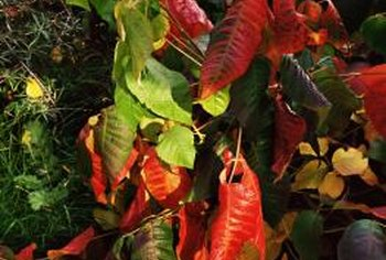 Poison ivy can cause blisters, swelling and itching in people.