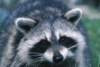 A raccoon won't think twice about yanking plants out of containers.