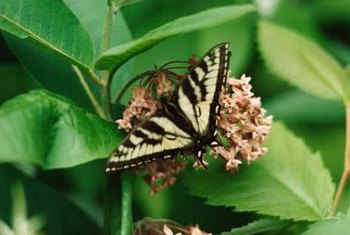 Swallowtail butterflies' sole food is nectar, but their young eat leaves.