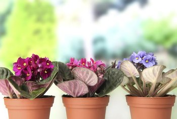 Healthy African violet leaves are thick, dark green and hairy.