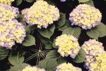 Like azaleas, hydrangeas are prolific flowering shrubs.