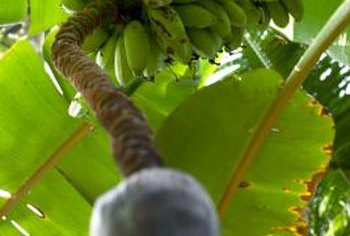 Cover developing banana bunches to hide them from wildlife.