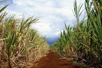 A row of sugarcane works as a garden windbreak.