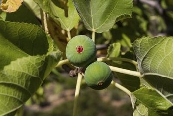 Healthy fig trees have bright green, even-colored foliage.