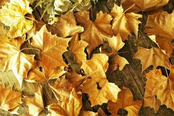 Dried leaves can be added to compost piles whole or shredded first.