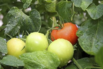 Well-watered tomatoes can better resist fungal diseases and insect infestations.