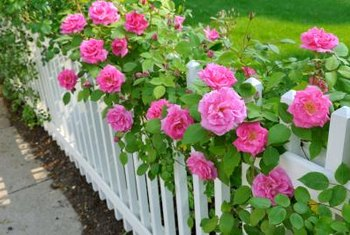 Climbing roses can be trained to meander up a fence or other structure.